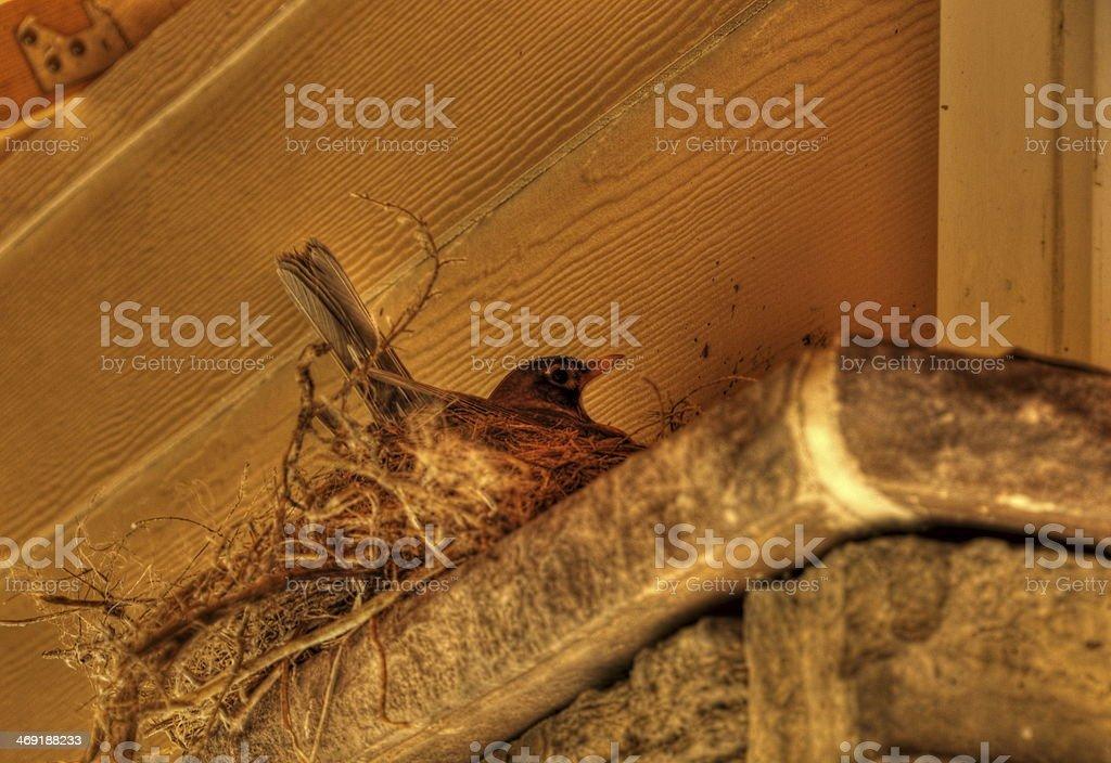 Spring Robin Guarding Eggs on Nest stock photo