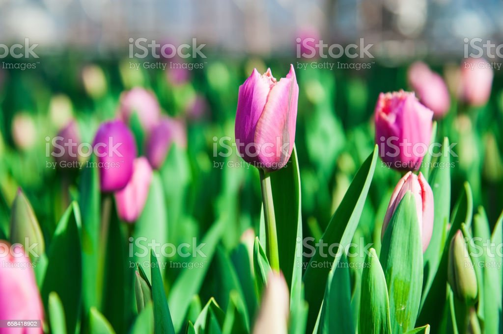 Spring scene of tulip field stock photo
