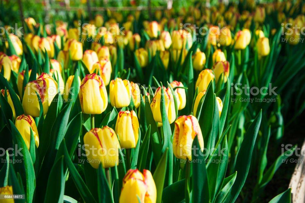 Spring scene of tulip field stock photo