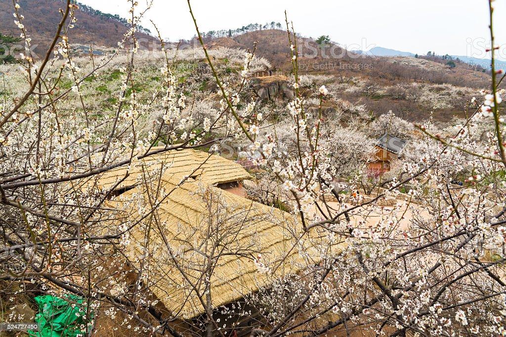 Wiosna scena, śliwkowy garden zbiór zdjęć royalty-free