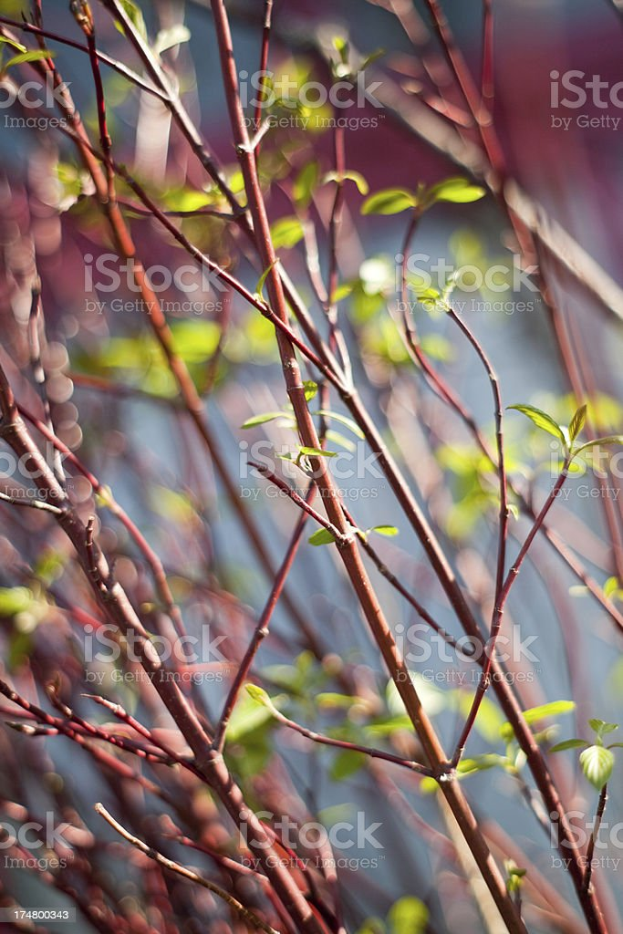 Spring Season New Leaves on Branches royalty-free stock photo