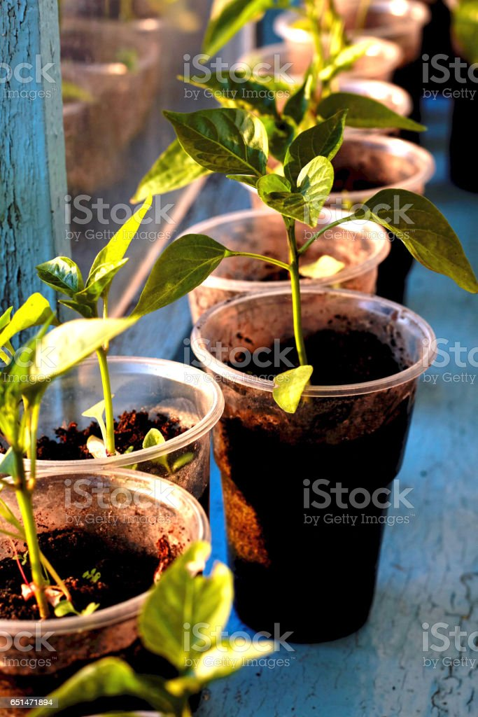 Spring seedlings. sprouts of peppers grown at home in boxes stock photo