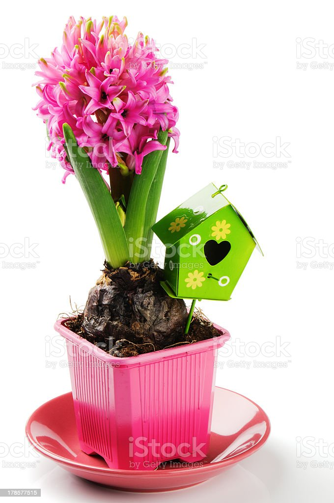 Spring setting with pink hyacinth royalty-free stock photo