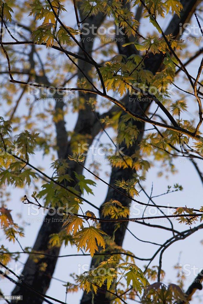 Spring Silver Maple stock photo