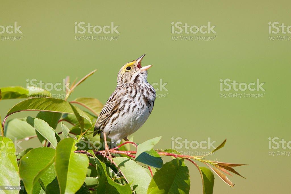 Spring Sing stock photo