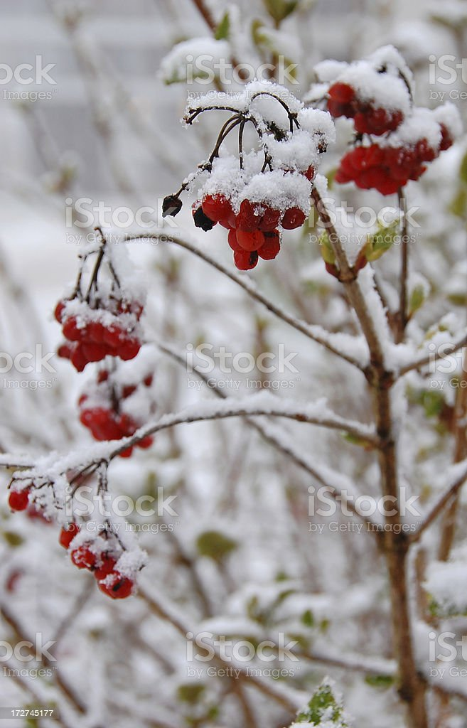 Spring Snow Storm royalty-free stock photo