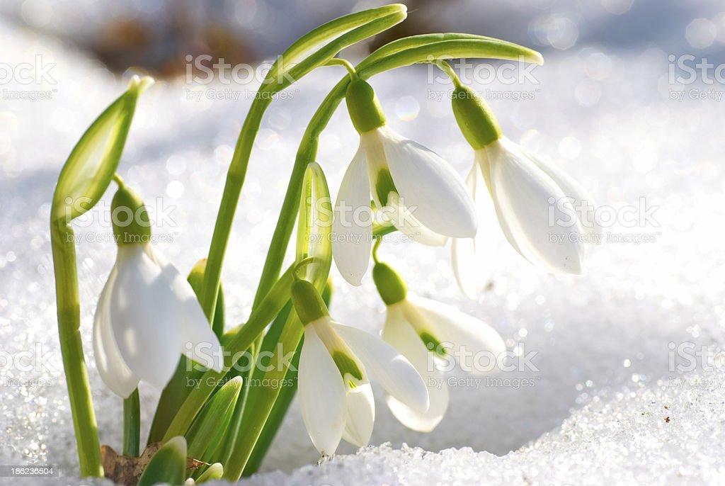 Spring snowdrop flowers stock photo