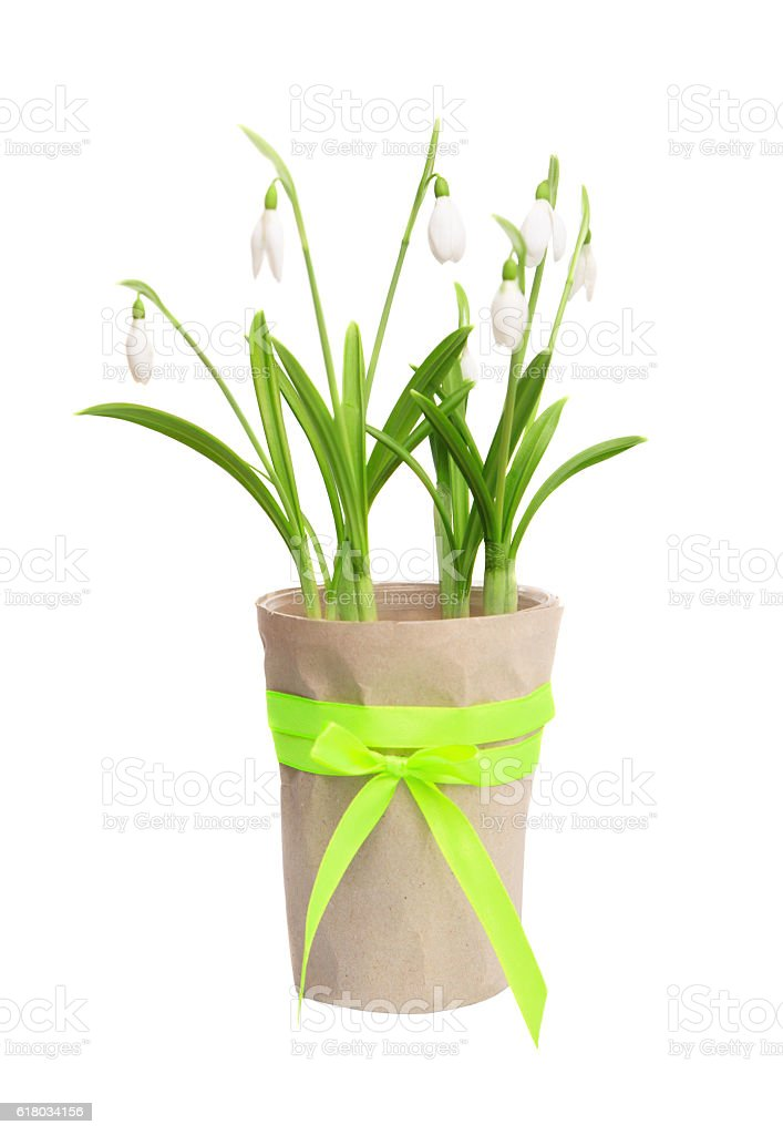 Spring snowdrops in a flowerpot isolated on white. stock photo