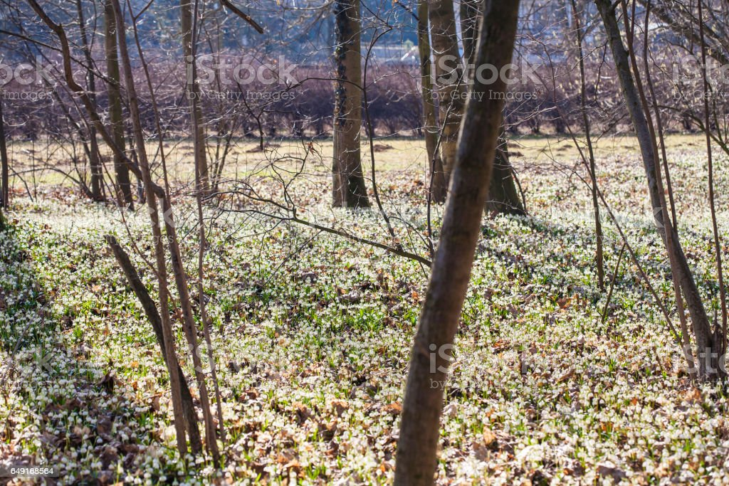 Spring snowflake field stock photo