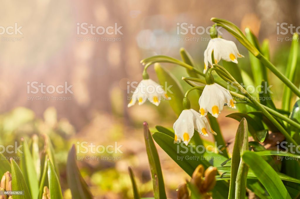 Spring snowflake flowers in the rays of setting sun stock photo