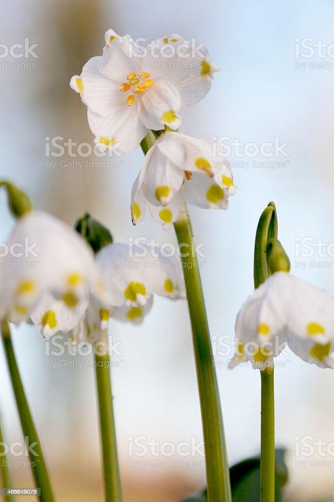 Spring Snowflake (Leucojum vernum) stock photo