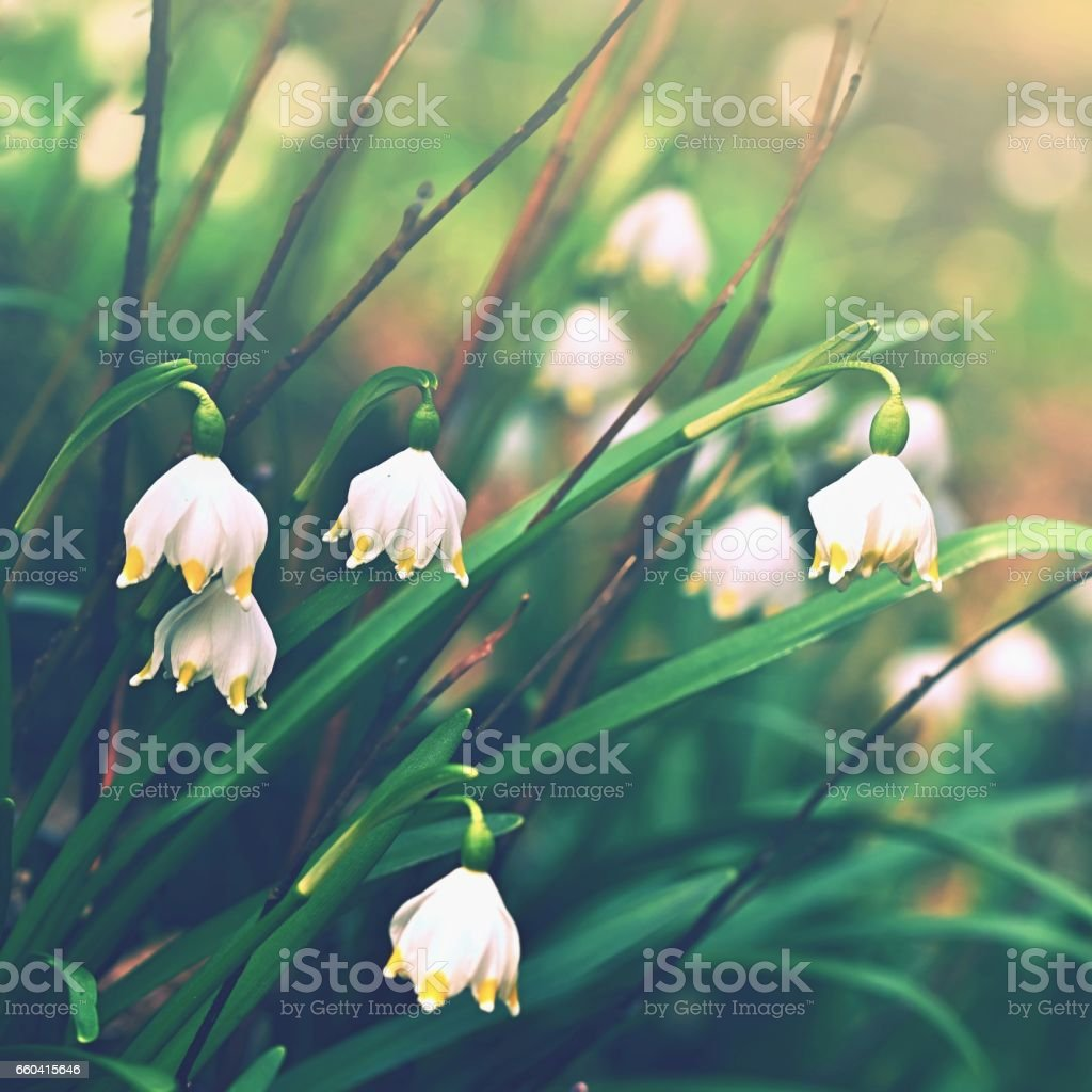 Spring Snowflakes Flowers Beautiful Blooming Flowers In Forest With