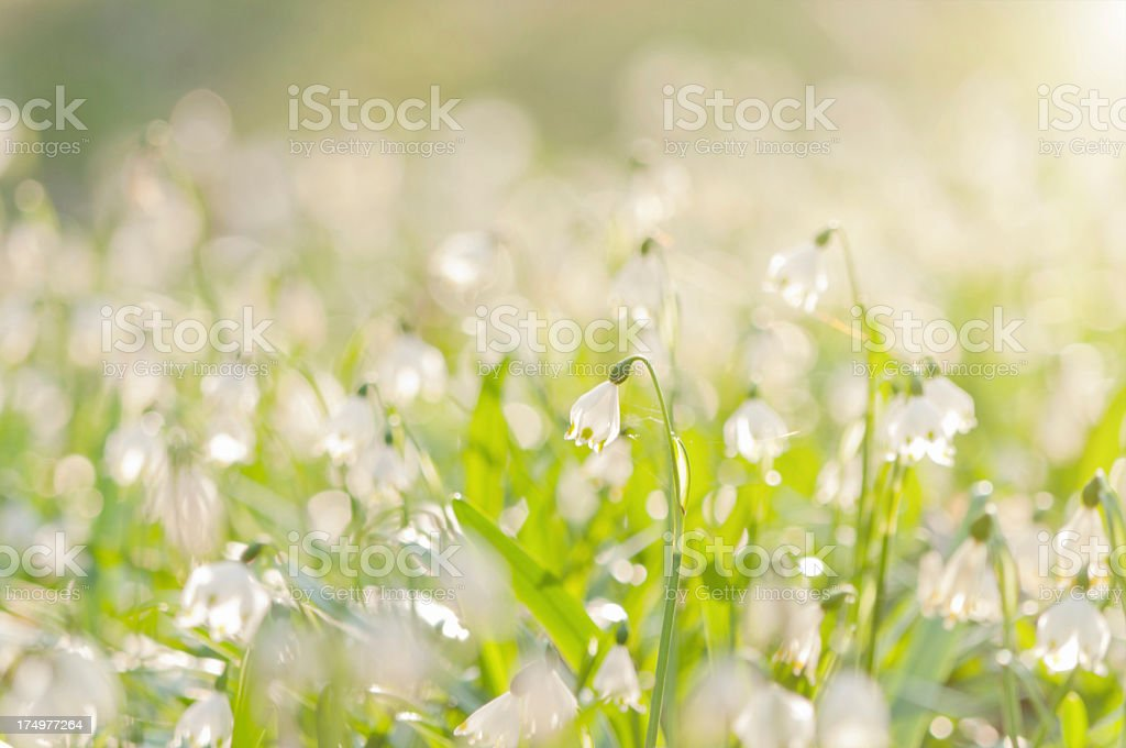 spring snowflakes in backlit stock photo