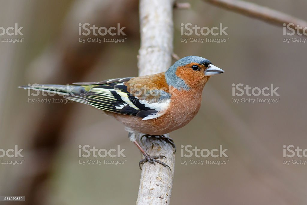 Spring songbird chaffinch sitting on a branch stock photo