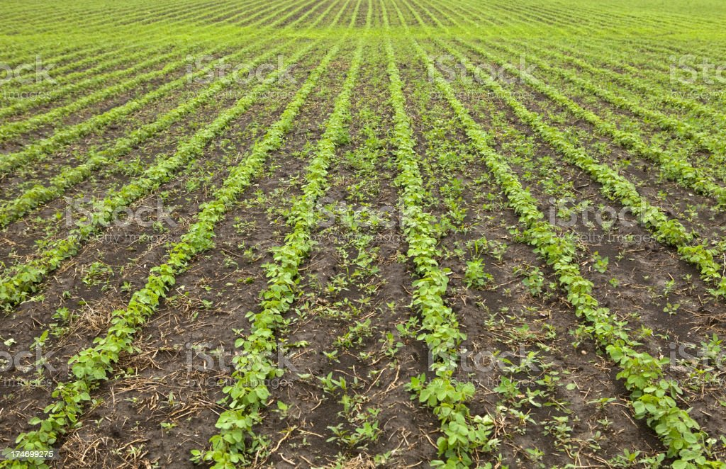 Spring Soybean Field stock photo