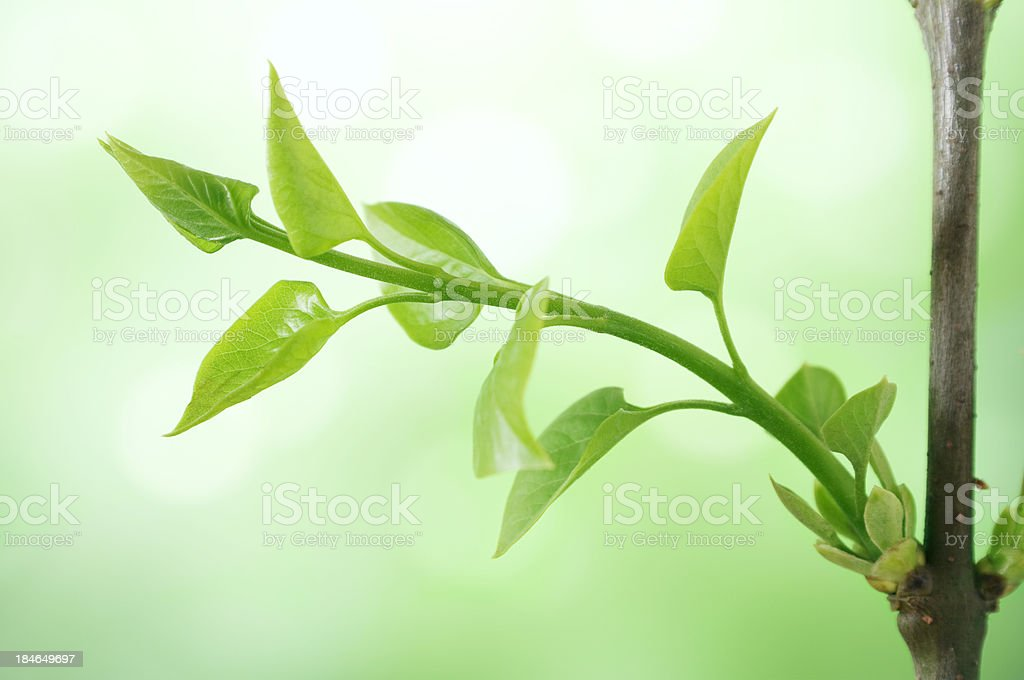 Spring Sprout royalty-free stock photo