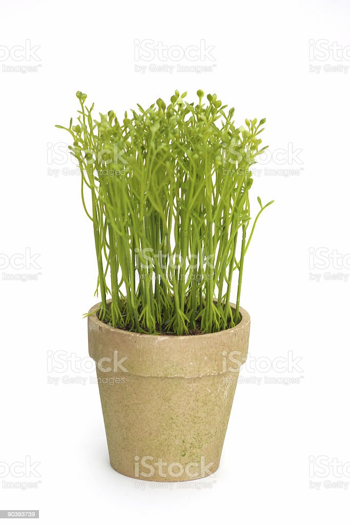 Spring Sprouts royalty-free stock photo