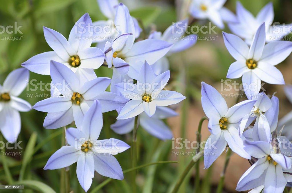 Spring star flowers stock photo