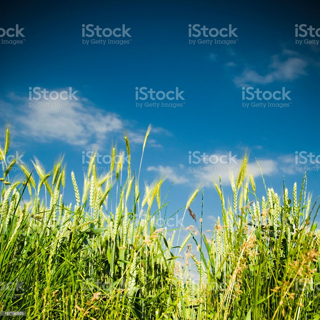 Spring, Summer Corn Field royalty-free stock photo