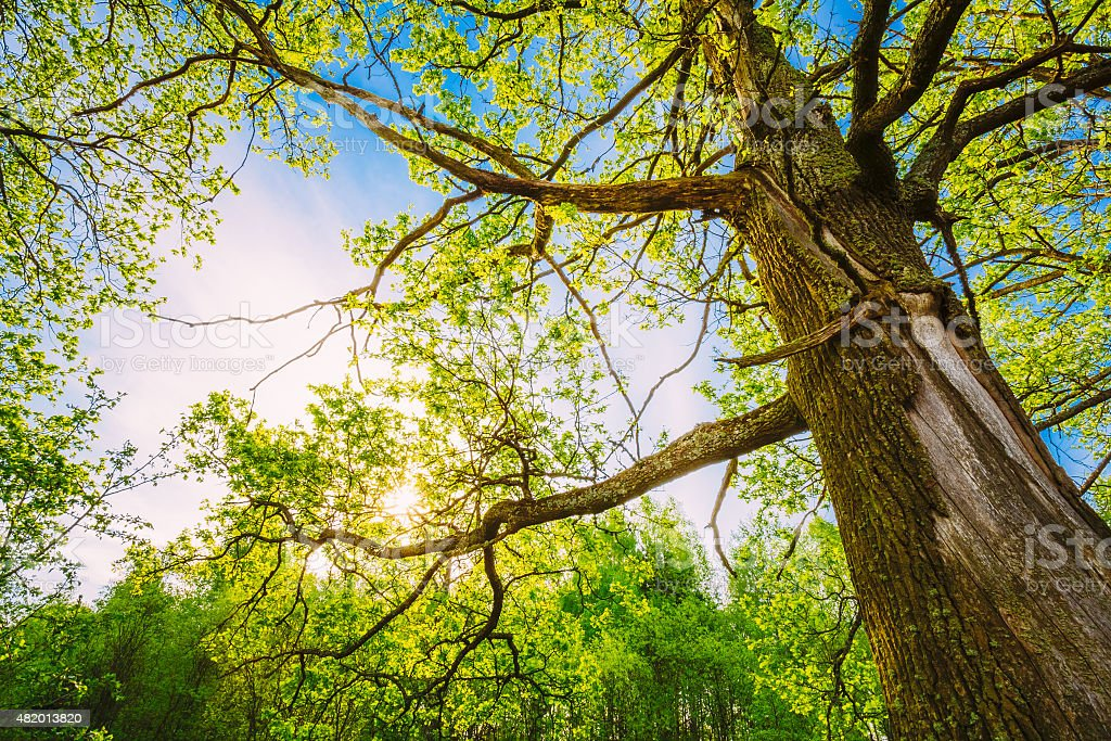 Spring Sun Shining Through Canopy Of Tall Oak Trees. stock photo