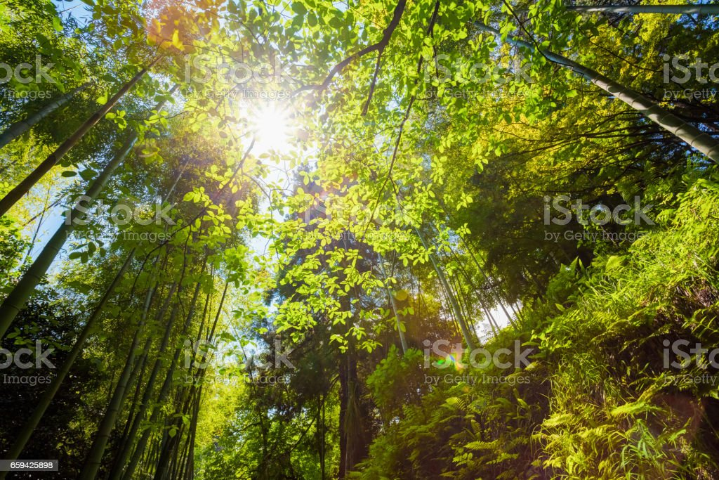 Spring Sun Shining Through Canopy Of Tall Trees Bamboo Woods. Sunlight In Tropical Forest, Summer Nature. Upper Branches Of Different Deciduous Trees Summer Background. Nobody stock photo