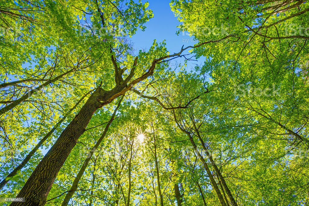 Spring Sun Shining Through Canopy Of Tall Trees. Upper Branches stock photo