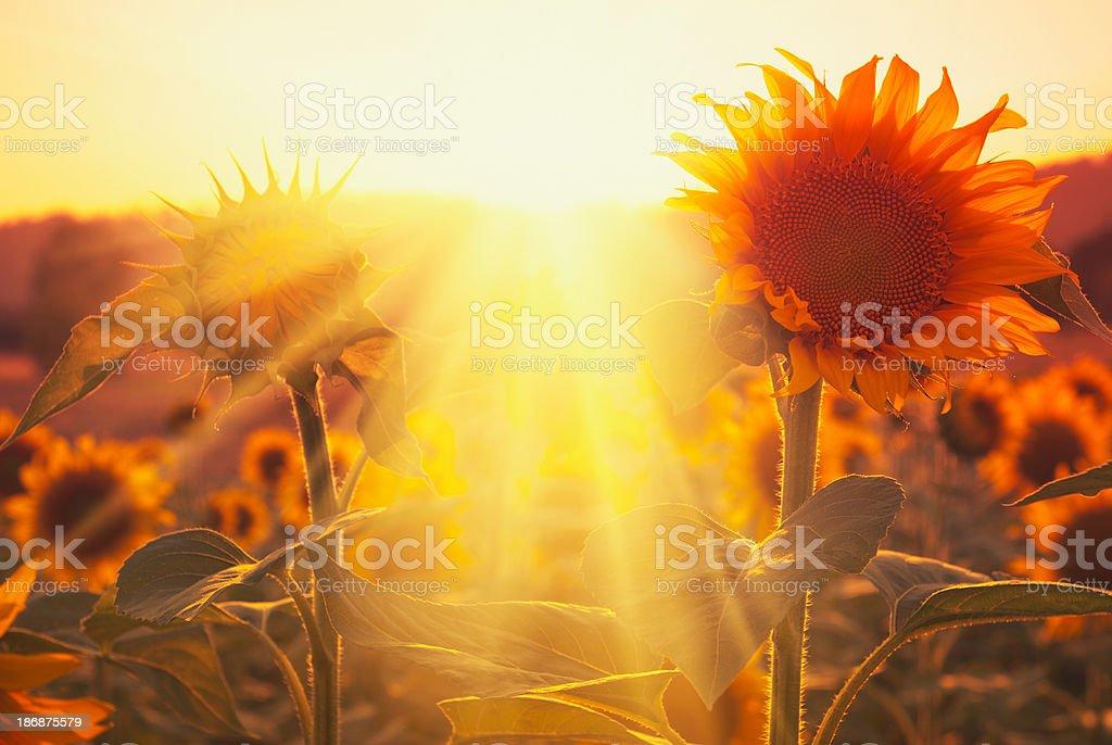 Spring sunflower at dusk stock photo