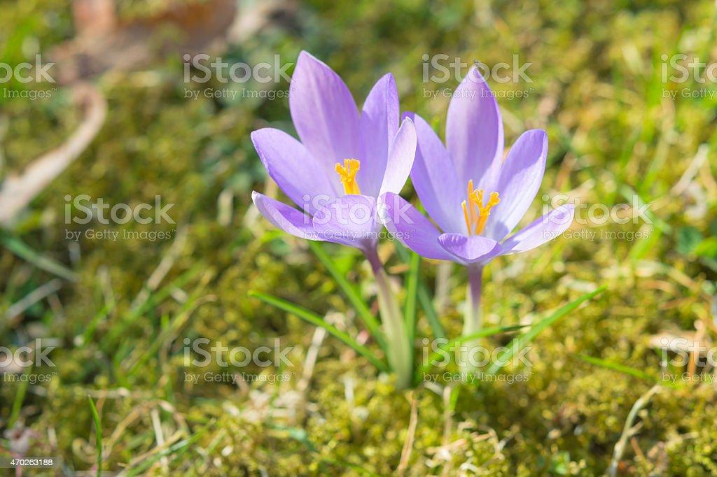 Spring sunlight crocus pastel flowers on sunshine Alpine meadow stock photo
