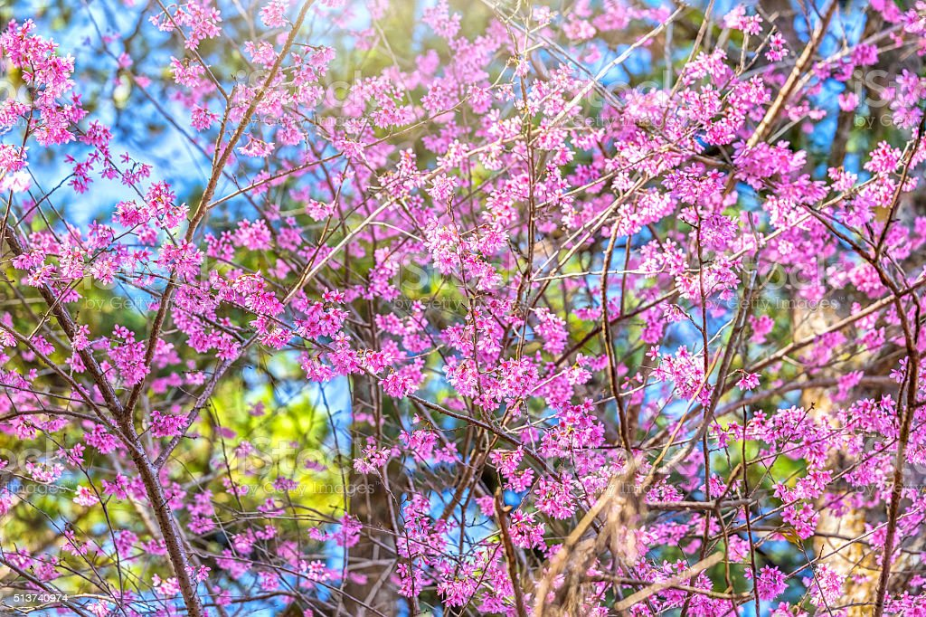 Spring sunshine on apricot cherry stock photo