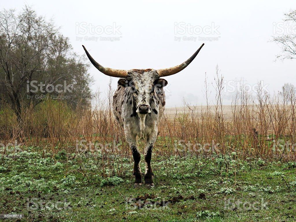 Spring Texas Longhorn stock photo