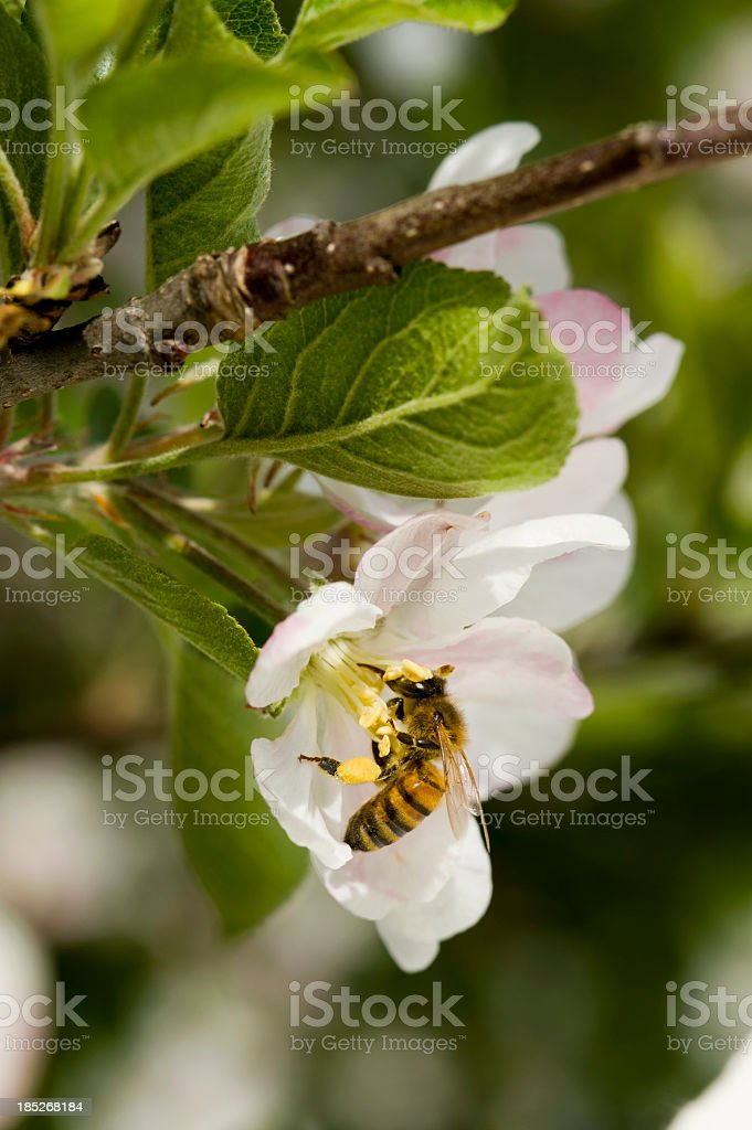 Spring Time Blossoms - Honey Bee and Apple Blossom royalty-free stock photo