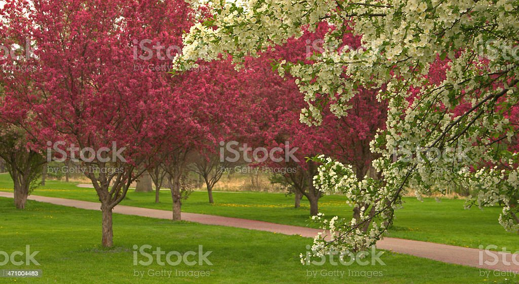 Spring Time Crab-apple Trees royalty-free stock photo