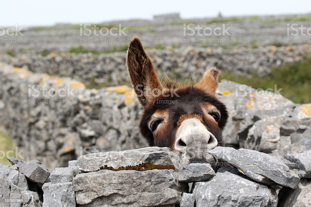 Spring Time Donkey looking over a wall stock photo