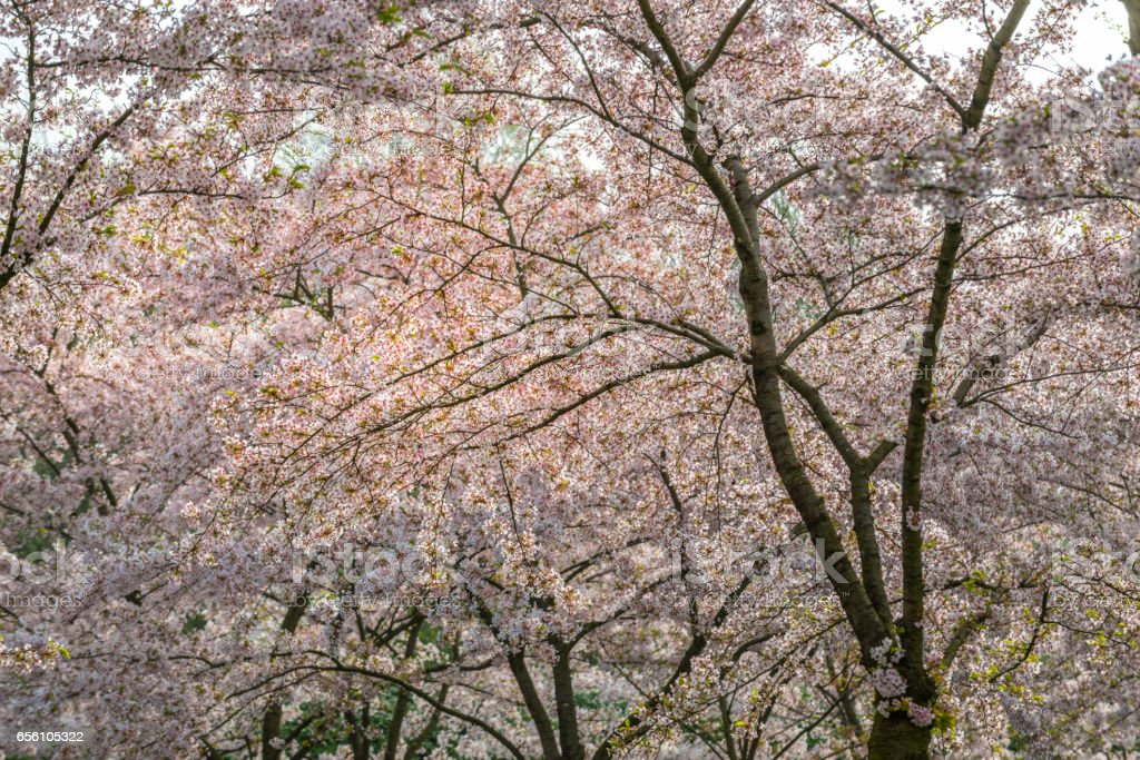 Spring time. Pink cherry blossoms forest, Hanami stock photo