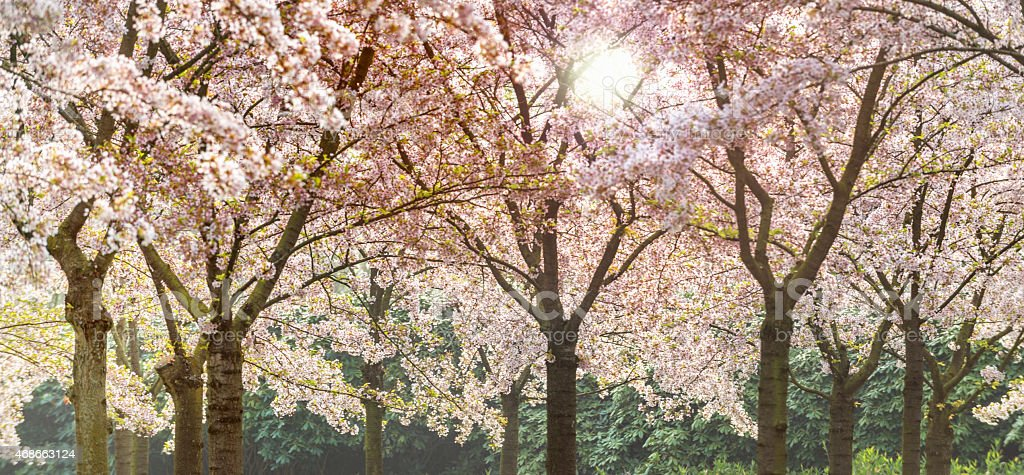 Spring time. Pink cherry blossoms forest, sunflare. Hanami stock photo