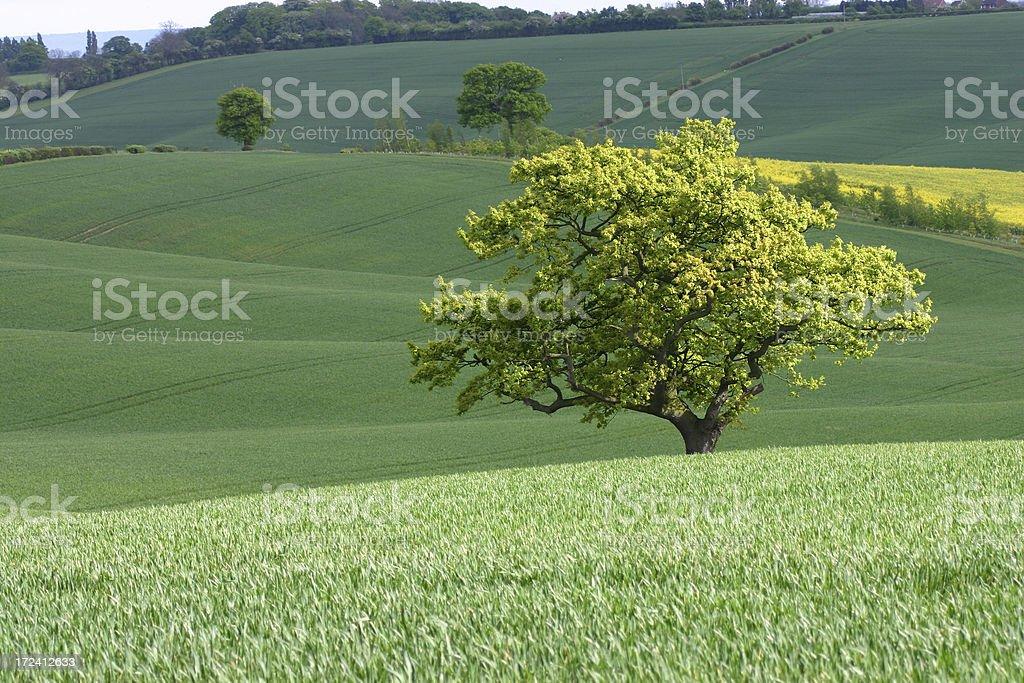 spring tree on an English wheat farm royalty-free stock photo