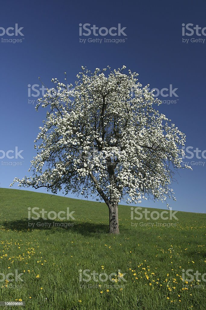 Spring Tree on Meadow royalty-free stock photo