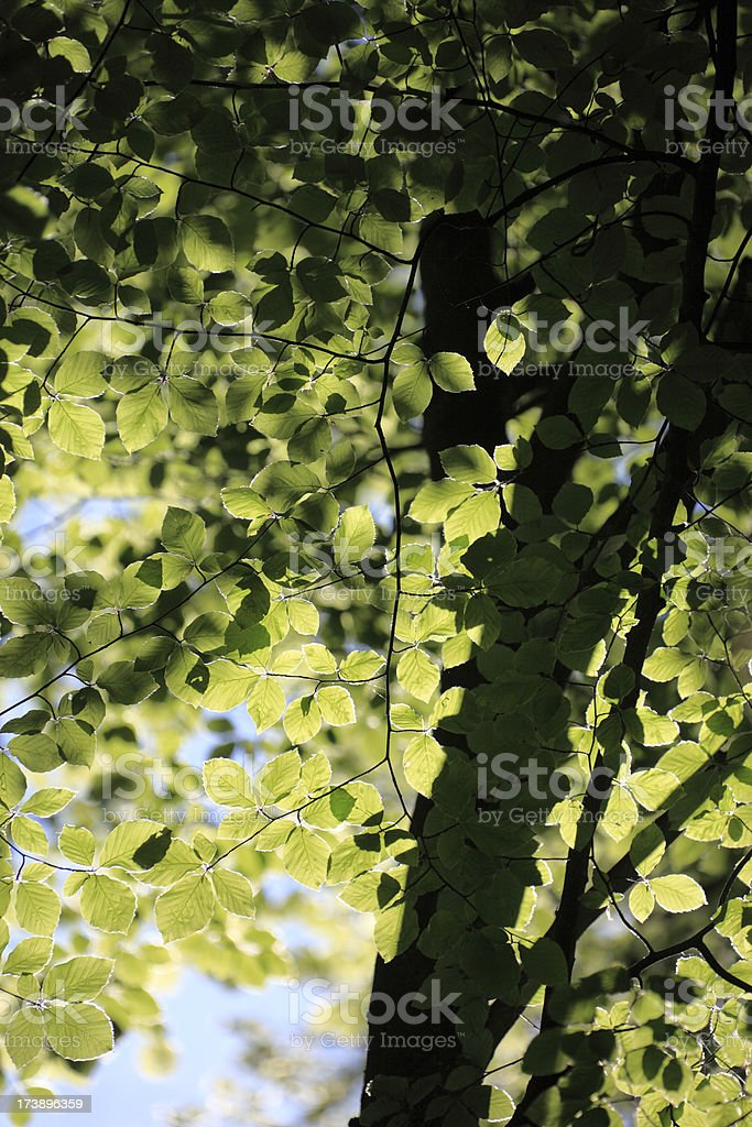 Spring Tree royalty-free stock photo
