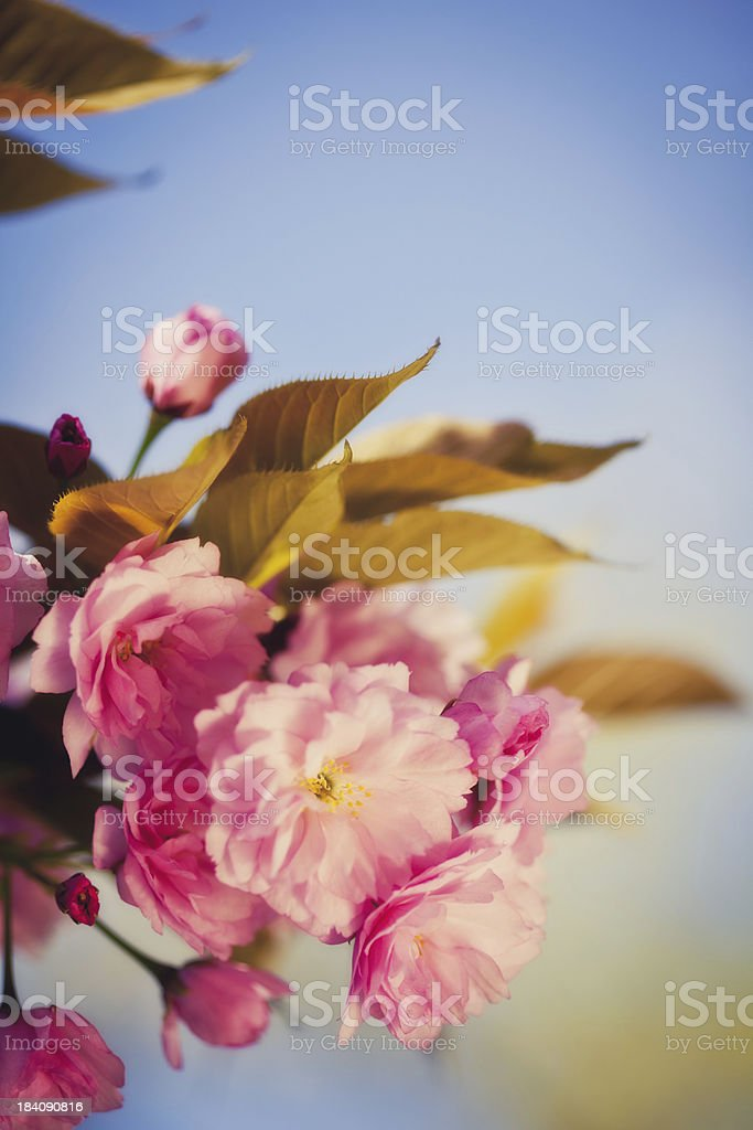 Spring Tree With Pink Flowers stock photo