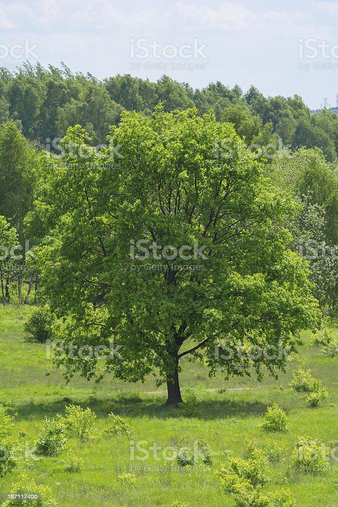 Spring Tree - XXXL royalty-free stock photo