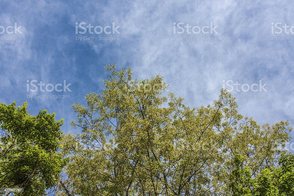 Spring Trees against Blue Sky royalty-free stock photo