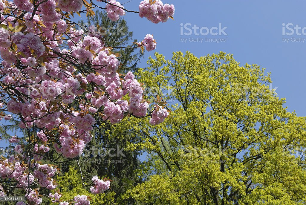 spring trees royalty-free stock photo