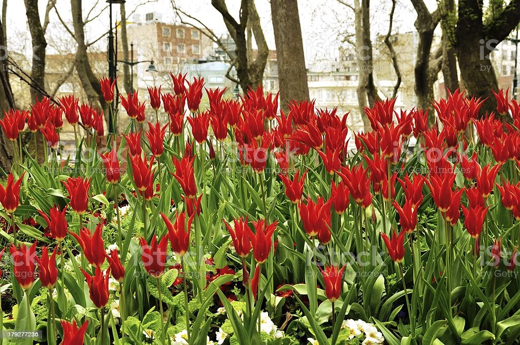 Spring tulip field royalty-free stock photo