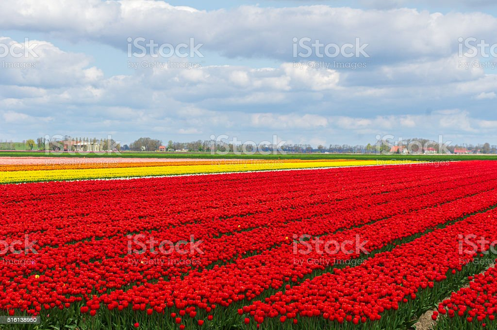 Spring tulip fields in Holland,  flowers in Netherlands stock photo