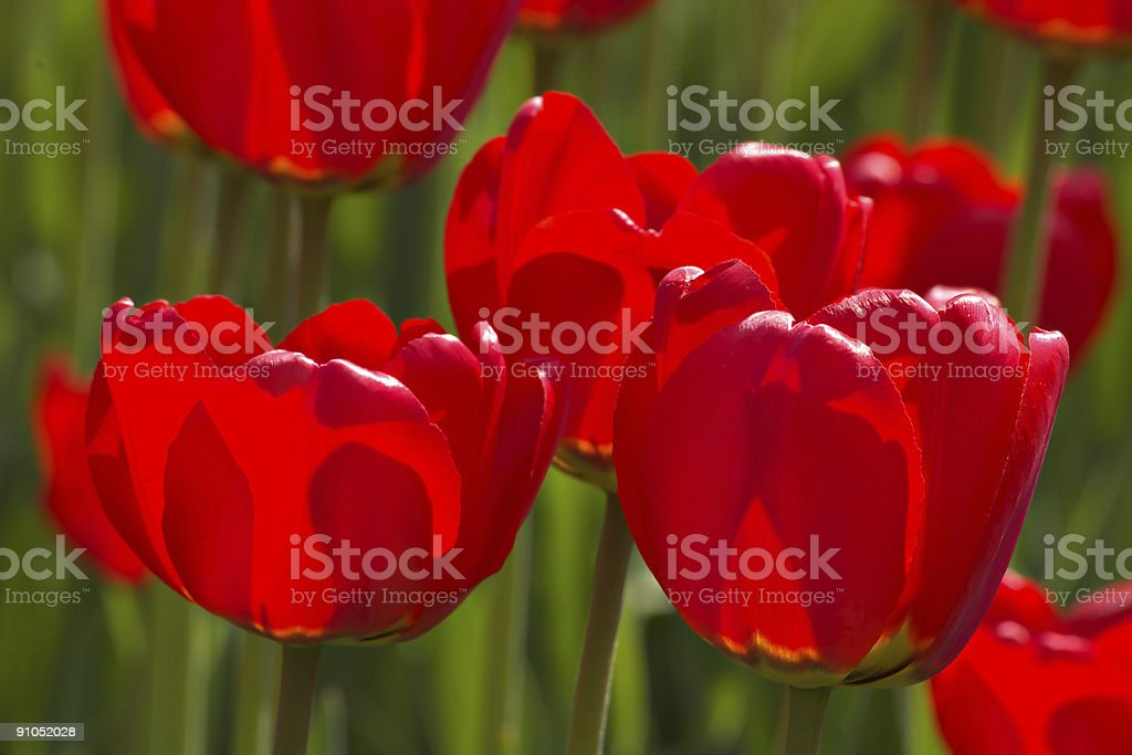 Spring tulips impregnated by the sun royalty-free stock photo