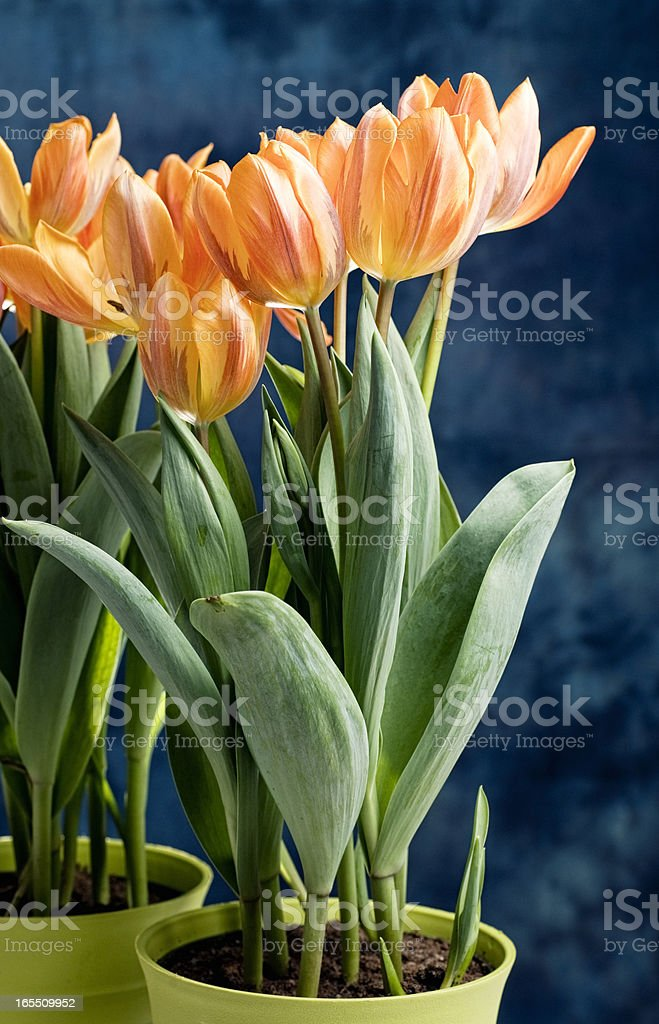 Spring Tulips in Bloom royalty-free stock photo