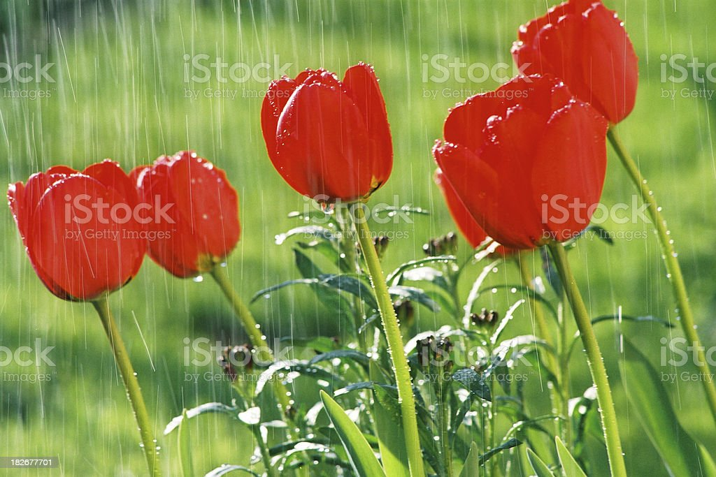 Spring tulips in the rain royalty-free stock photo