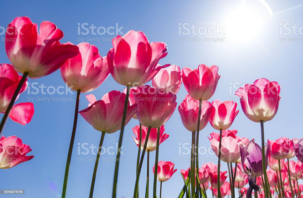 Spring tulips in the sun. stock photo