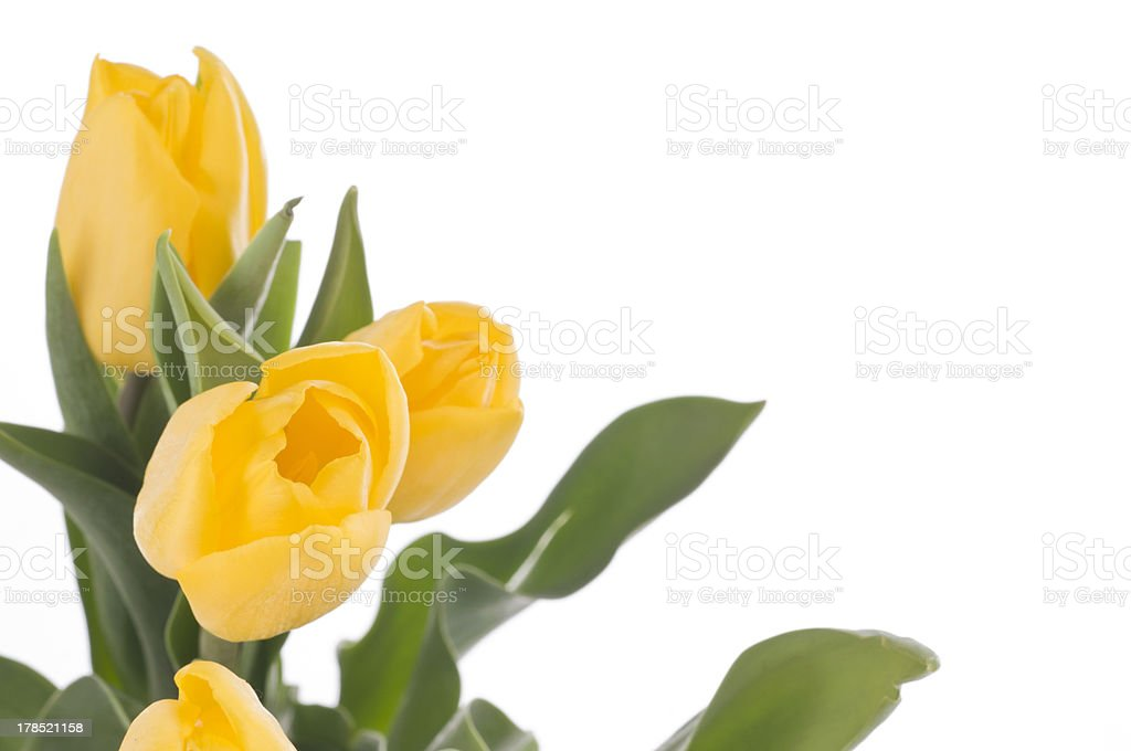 Spring tulips isolated on white royalty-free stock photo