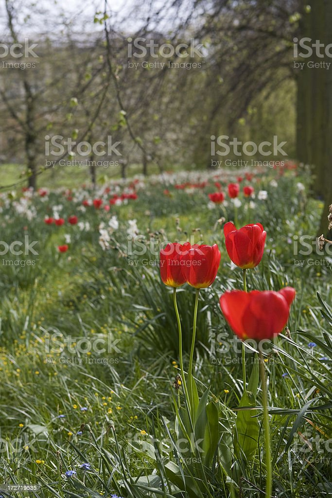 Spring tulips royalty-free stock photo